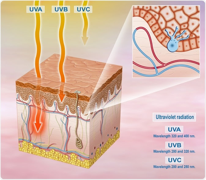 Illustration of the segment of the exposed skin to sunlight and solar UVA, UVB, UVC. Image Credit: Alexilusmedical / Shutterstock