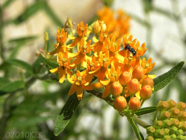 DSCN6440 Butterfly Weed