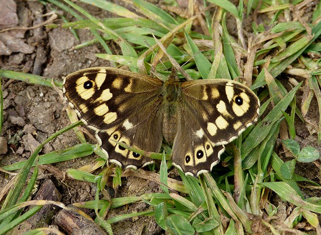 26889 - Speckled Wood, River Coly