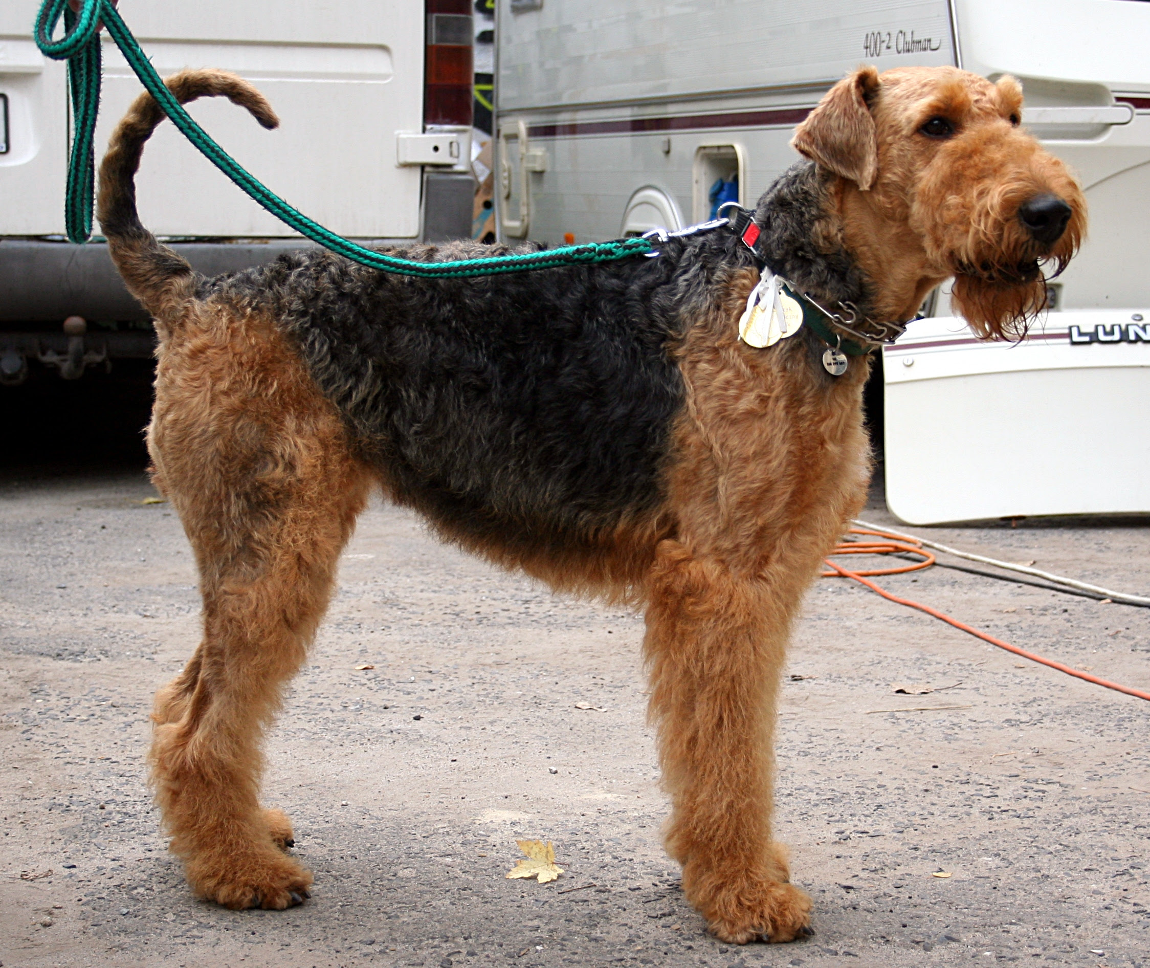 Airedale Terrier Symbolism; A Message » Spirit Animal Totems