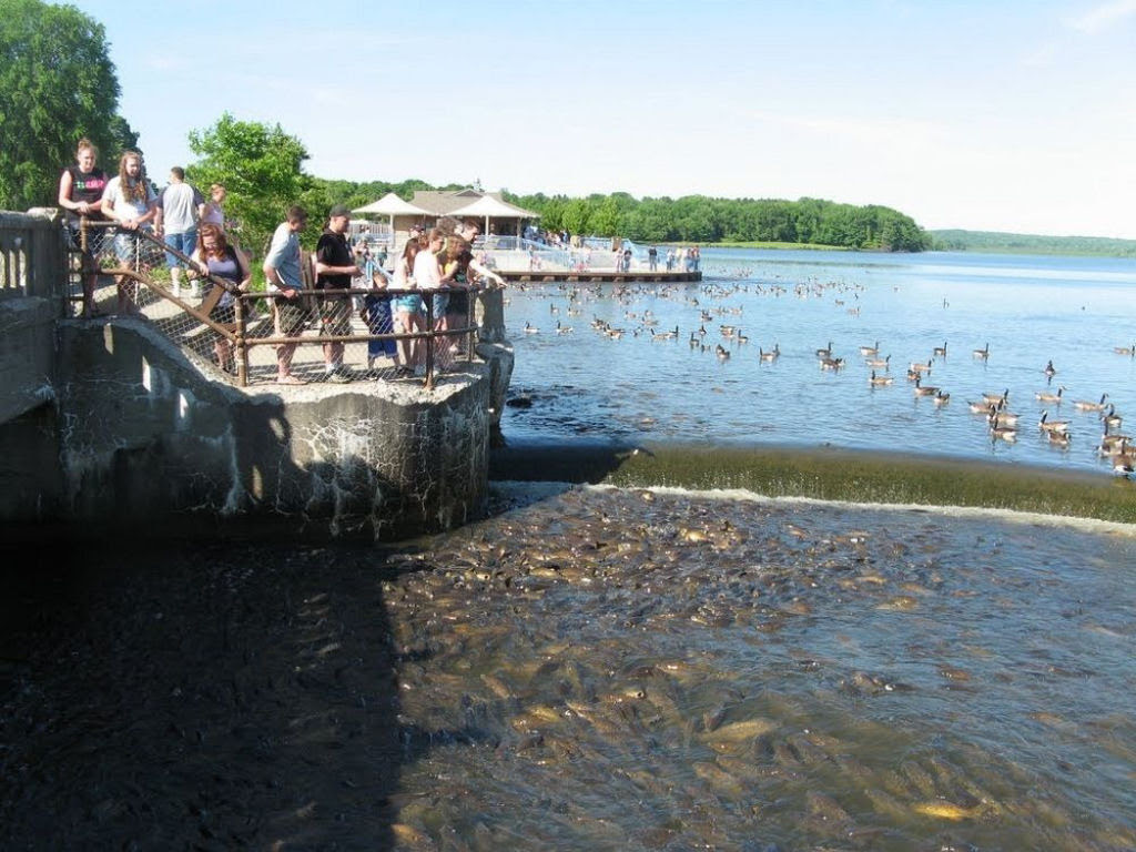 O vertedouro de Linesville: onde os patos caminham sobre peixes 03