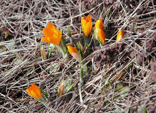 spring :: krokus i hagen