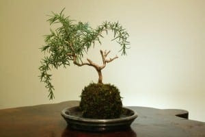 Rosemary Bonsai