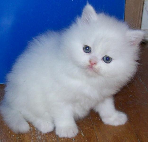 Persian Cat Kitten Price In Pakistan Cat S Blog