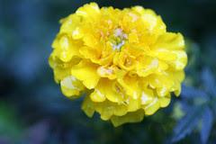 garden flowers  056