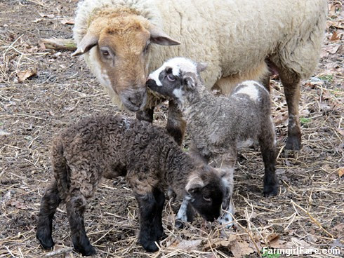 Curious little lambs (2) - Helga and her twins - FarmgirlFare.com