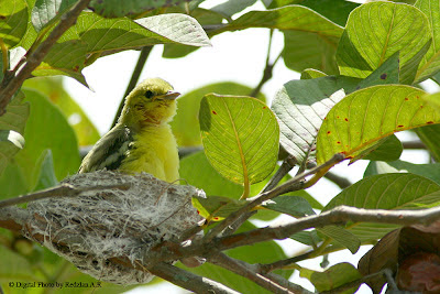 Update - Common Iora Nest