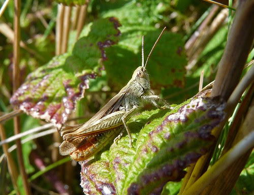 11548 - Common Green Grasshopper