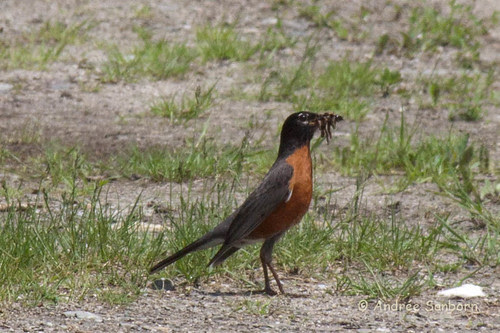 American Robin with worms-16.jpg