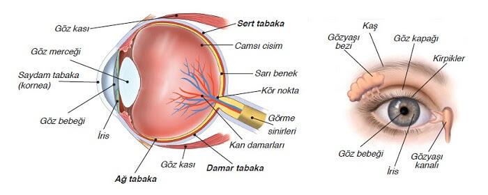 Duyu Organlarımız Göz 7 Sınıf
