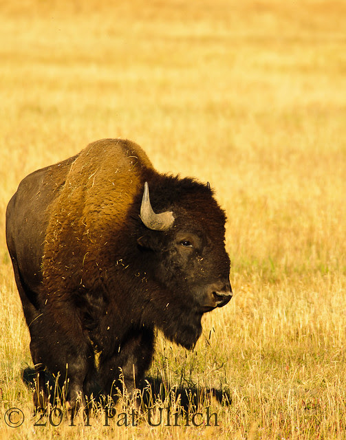 Bison in Grand Teton NP - Pat Ulrich Wildlife Photography