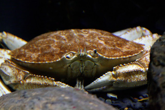 crab, oregon coast aquarium