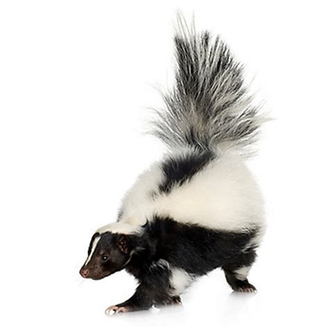 How to Trap Skunks   Skunk Trapping   Havahart®