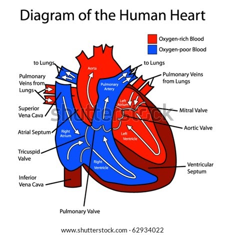 blank heart diagram blood flow - Latest Trend Hairstyle