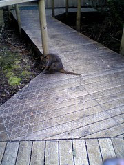 Small marsupial at Cradle Mountain Backpackers YHA