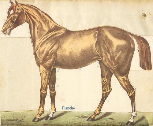 anato cheval 1