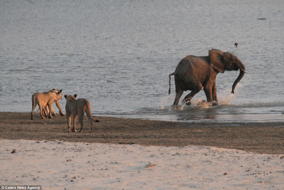 Catch me if you can: The elephant, safe at last, takes a few steps into the watering hole, while the angry lionesses watch on