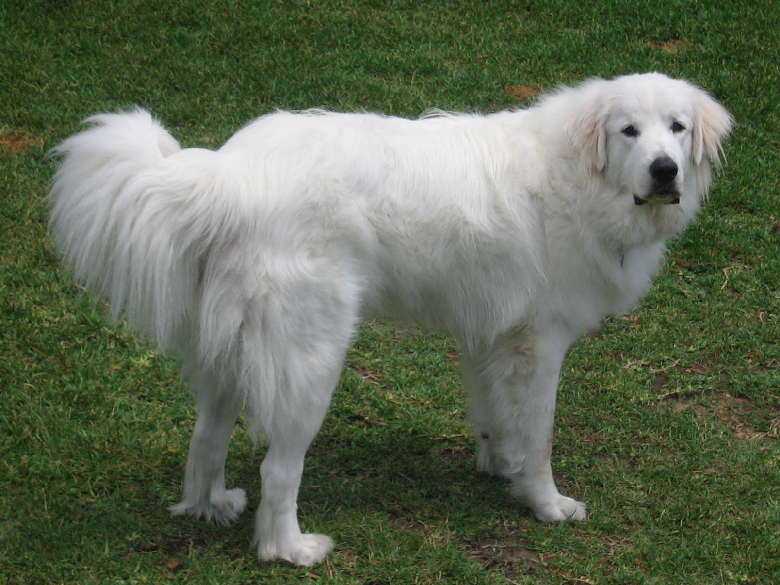 Great Pyrenees Breed Guide  Learn about the Great Pyrenees.