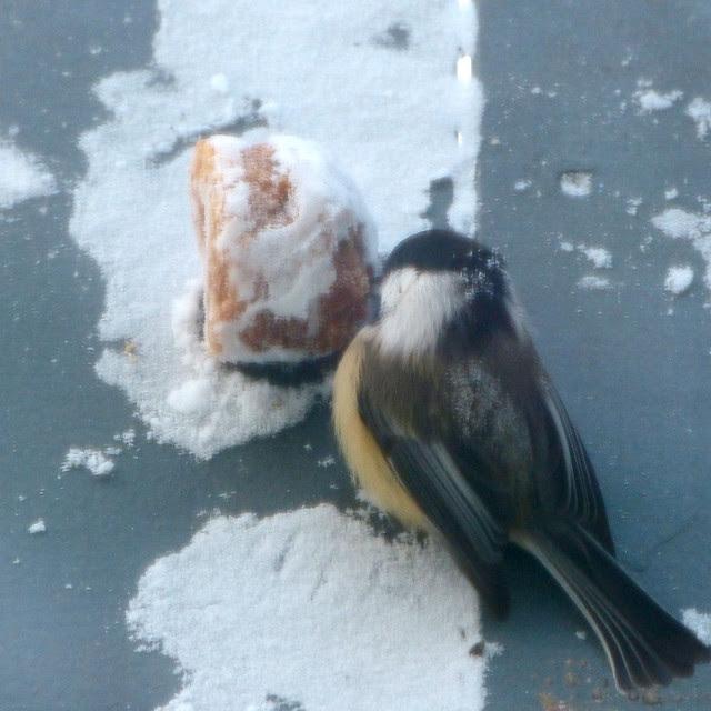 chickadees like muffins too