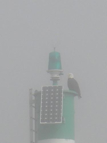 Eagle in the Fog
