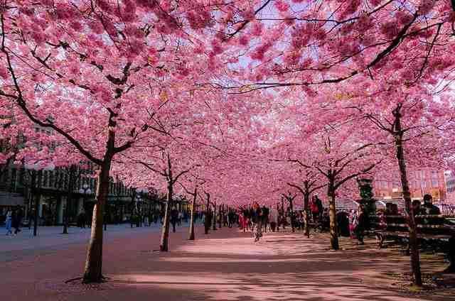Image result for κερασιές ιαπωνια
