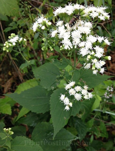 Plantpostings Plant Of The Month White Snakeroot