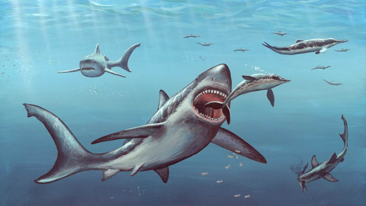Megalodon probably gave birth to live young, as do the majority of modern sharks. They would also dwarf most aquatic animals today, more than twice the size of the biggest great whites. Image: Science Photo Library