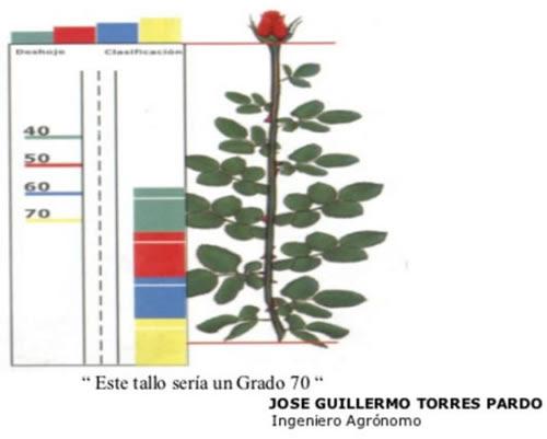 Rosas Tipo Exportación en Bogota- Grado 70
