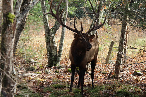 IMG_3176_Elk_in_Cataloochee