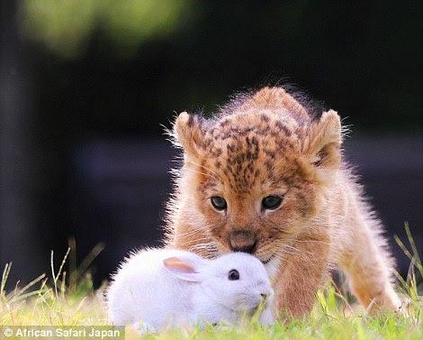 O filhote de leão parece estar olhando para a sua presa