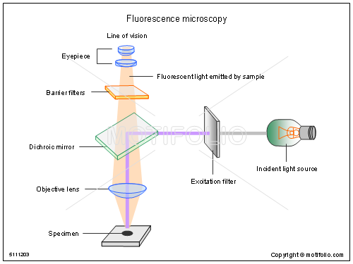 Fluorescence Microscopy Illustrations
