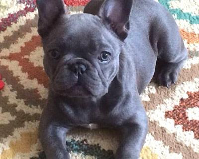 36 Best Pictures Fuzzy French Bulldog Price : Meet Fozzy The Fluffy French Bulldog Huffpost Australia Life