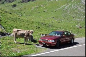rural carshare cow