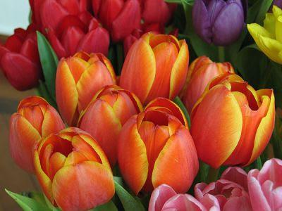 http://www.roseinthewind.com/wp-content/uploads/2009/04/tulipani-colorati.jpg
