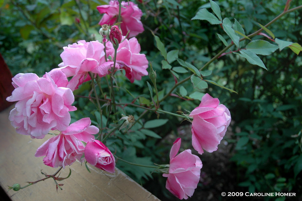 Old Blush roses