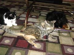 Maggie wrestles the zebra tail