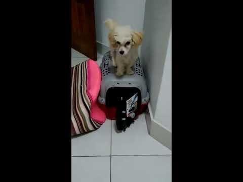 """Poodle """"fofoletinha"""" , sobe na casinha e brinca com a Pyxy, poodle também"""
