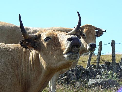 vache et son veau 1.jpg