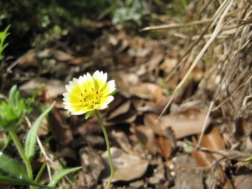 Tidy Tips in bloom