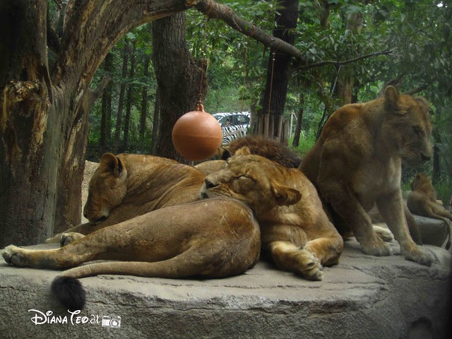Safari Park, Everland