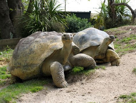 Galapagos Tortoise   The Life of Animals