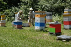 tending the hive 300x198 The Anatomy Of A Honeybee Hive