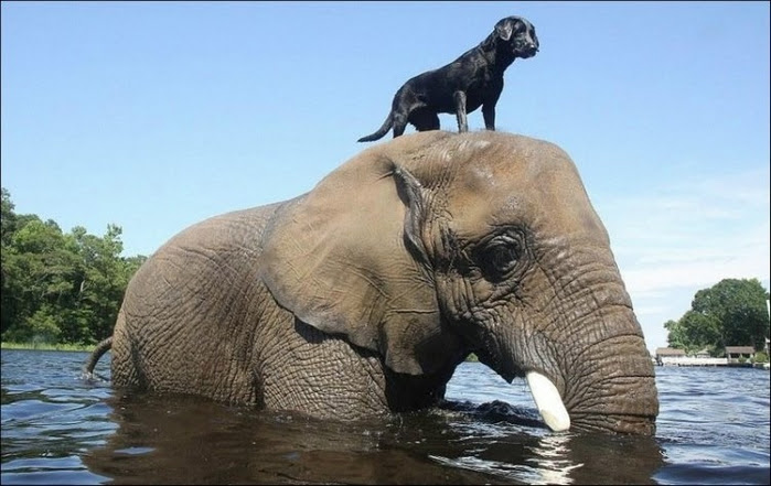 elephant_and_dog_001 (700x441, 203Kb)