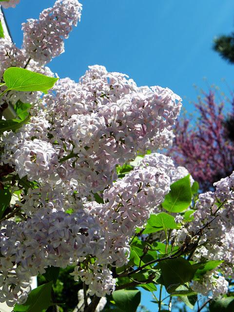 """DSCN3283 """"Skidmore"""" Lilac blooms"""