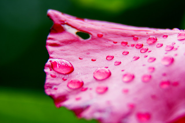 Raindrops on a bougainvillea