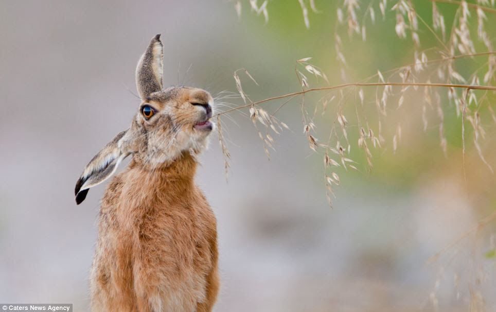 A hare in a corn field in Austria appears to be quite unperturbed by a photographer's presence
