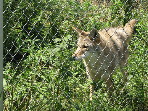 IMG_2830_Coyote_Twister_at_Wolf_Park