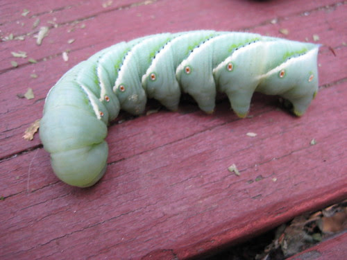 big ol' green caterpillar
