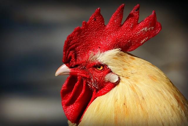 मुर्गा की अकल ठिकाने-The Cock