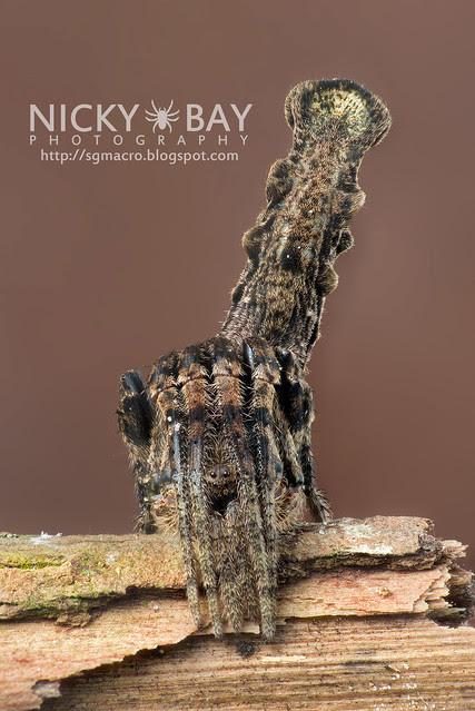 Tree Stump Orb Weaver (Poltys elevatus) - DSC_7078